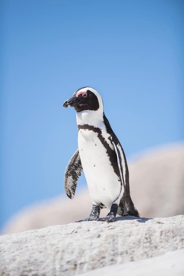 Cape Point Penguin Tour